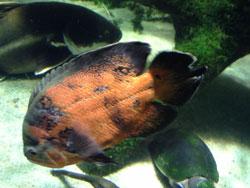 20140104-Aquarium-fish-2-250
